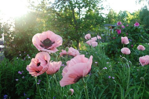 My Own Field of Poppies