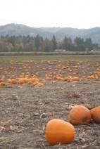 pumpkin patch-sauvies