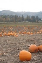Portland}Sauvie Island -The Pumpkin Patch and Maize