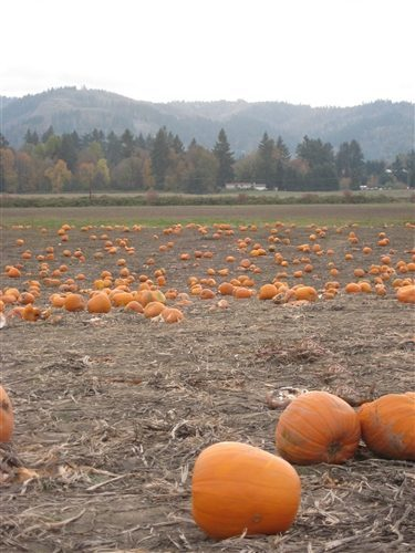 Portland}Sauvie Island -The Pumpkin Patch and Maize